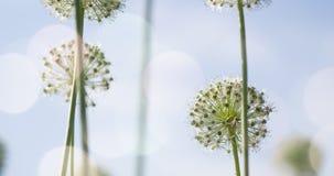 El globo circular del allium blanco formó las flores sopla en el viento Imagenes de archivo