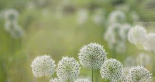 El globo circular del allium blanco formó las flores sopla en el viento Imagen de archivo