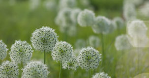 El globo circular del allium blanco formó las flores sopla en el viento Foto de archivo libre de regalías