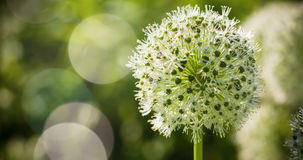 El globo circular del allium blanco hermoso formó las flores sopla en el viento Fotografía de archivo libre de regalías