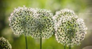 El globo circular del allium blanco hermoso formó las flores sopla en el viento Imagen de archivo libre de regalías