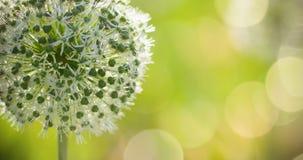 El globo circular del allium blanco hermoso formó las flores sopla en el viento Imagenes de archivo