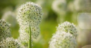 El globo circular del allium blanco hermoso formó las flores sopla en el viento Fotos de archivo