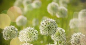 El globo circular del allium blanco hermoso formó las flores sopla en el viento Foto de archivo