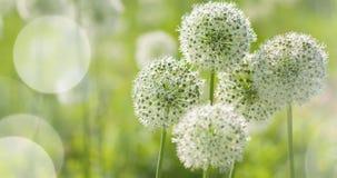 El globo circular del allium blanco hermoso formó las flores sopla en el viento Fotos de archivo libres de regalías