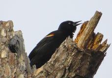 El gojear del mirlo de alas rojas Foto de archivo
