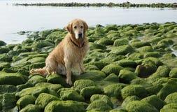 El golden retriever de la raza del perro mojado después de bañar sentarse en piedras verdes en la bahía Imágenes de archivo libres de regalías