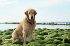 El golden retriever de la raza del perro mojado después de bañar sentarse en piedras verdes en la bahía Imagenes de archivo