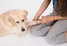 El golden retriever del perro que hace la preparación de la manicura y de la pedicura Imagen de archivo libre de regalías