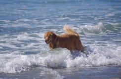 El golden retriever hermoso empuja a través de la resaca en la playa del perro foto de archivo libre de regalías