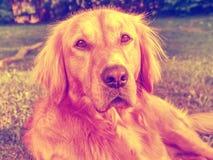 El golden retriever joven es relajante en hierba Imagen de archivo libre de regalías