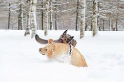 El golden retriever Juego de los perros con uno a foto de archivo libre de regalías