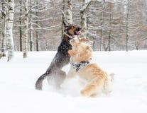 El golden retriever Juego de los perros con uno a imagen de archivo