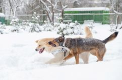 El golden retriever Juego de los perros con uno a fotos de archivo