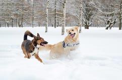 El golden retriever Juego de los perros con uno a imagen de archivo libre de regalías