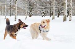 El golden retriever Juego de los perros con uno a fotografía de archivo