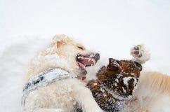 El golden retriever Juego de los perros con uno a imágenes de archivo libres de regalías