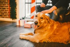 El golden retriever, Labrador miente al lado de los pies del dueño un varón mano del hombre que frota ligeramente el perro Dentro Imagen de archivo