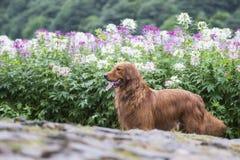 El golden retriever lindo en las flores Imagenes de archivo