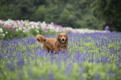 El golden retriever lindo en las flores Fotos de archivo