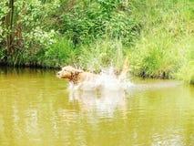 El golden retriever masculino de la raza del perro está saltando rápidamente en el lago para la rama Foto de archivo libre de regalías