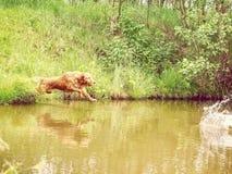 El golden retriever masculino de la raza del perro está saltando rápidamente en el lago para la rama Imágenes de archivo libres de regalías
