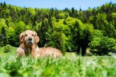 El golden retriever, perro está mintiendo en el verano Imágenes de archivo libres de regalías