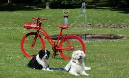 El golden retriever y el border collie mienten elegante delante de la bici roja en el parque fotografía de archivo libre de regalías
