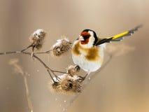 El Goldfinch europeo revolotea sobre el burdock Foto de archivo libre de regalías