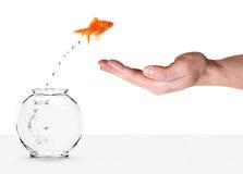 El Goldfish que salta en la palma humana fotografía de archivo libre de regalías