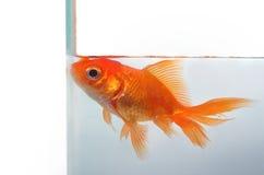 El Goldfish quiere más espacio fotos de archivo libres de regalías