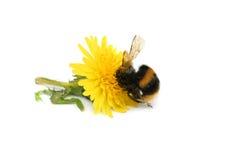 El Gorging en el néctar Fotografía de archivo libre de regalías