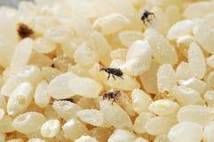 El gorgojo de arroz infectado de los escarabajos Los insectos del gorgojo comen el grano del arroz imagen de archivo