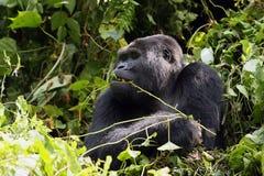 El gorila de montaña Foto de archivo libre de regalías