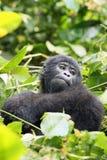 El gorila de montaña Imagenes de archivo