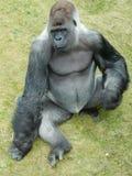 El gorila me está mirando Fotos de archivo libres de regalías