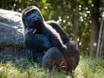El gorila se sienta en el piso Imagenes de archivo