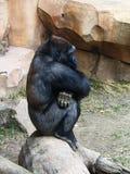 El gorila se sienta y piensa Imagen de archivo libre de regalías