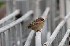 El gorrión casero se sienta en una cerca blanca Fotos de archivo