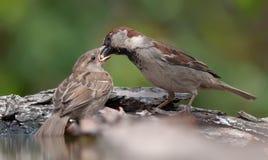 El gorrión de casa alimenta a su niño del pico al pico fotografía de archivo