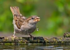 El gorrión de casa bebe el agua con descensos descendentes de su pico fotos de archivo