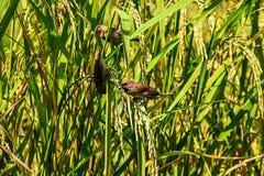 El gorrión de los pájaros está comiendo el arroz en el campo Fotos de archivo