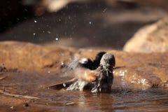 El gorrión de Swainson (swainsonii del transeúnte) Fotos de archivo