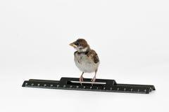 El gorrión del polluelo con una regla está mirando a la izquierda, aislada Fotos de archivo libres de regalías