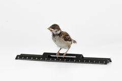 El gorrión del polluelo con una regla mira en la distancia, aislante Imagen de archivo