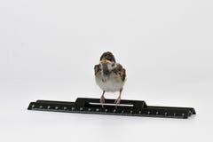 El gorrión del polluelo con una regla se sienta orgulloso, aislado en b blanco Imagen de archivo