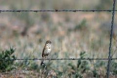 El gorrión del ` s de Bell se encarama en una cerca del alambre de púas en el ` meridional s San rural Luis Valley de Colorado imagen de archivo libre de regalías