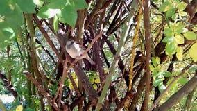 El gorrión en las ramas del arbusto almacen de metraje de vídeo