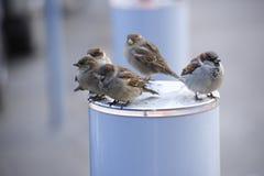 El gorrión hambriento indefenso del pájaro del invierno de los gorriones de los pájaros sienta día caliente Imágenes de archivo libres de regalías