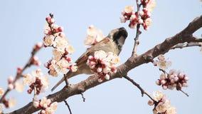 El gorrión se sienta entre las flores del albaricoque floreciente contra el cielo almacen de metraje de vídeo